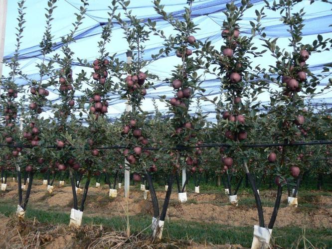 Двухлетние плодоносящие деревья сорта Jeromine (Пьемонт, Италия)