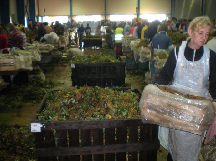 Цех по сортировки посадочного материала земляники
