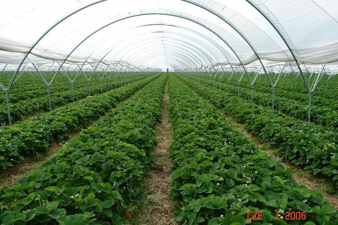 Теплица по выращиванию посадочного материала земляники