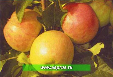 Рис. 1. Иммунный к парше сорт яблони Болотовское