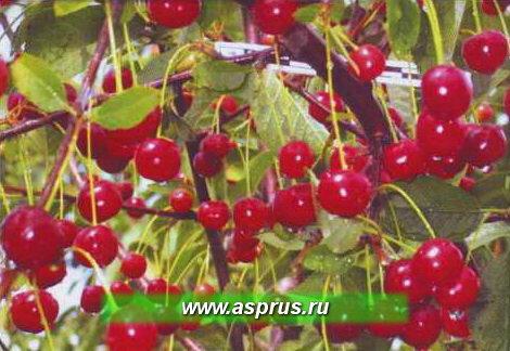 Рис. 2. Высокоустойчивый к коккомикозу и монилиозу сорт вишни Отрада