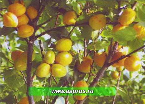 Рис. 3. Зимостойкий сорт абрикоса Орловчанин