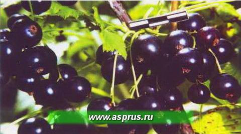 Рис. 4. Крупноплодный, иммунный к мучнистой росе сорт смородины черной