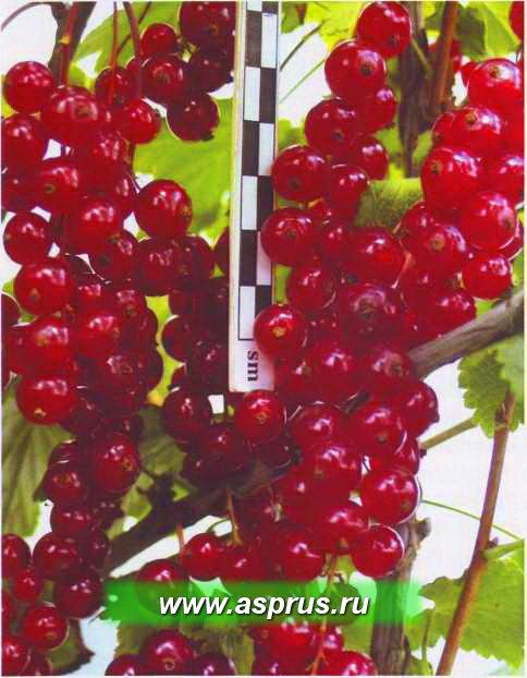 Рис. 5. Сладкоплодный длиннокистный, устойчивый к болезням сорт смородины красной Осиповская
