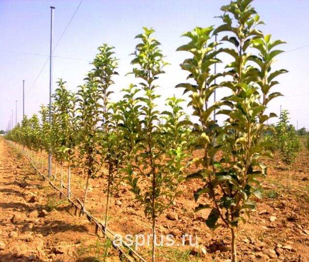 Плодоносящие сады фото 26