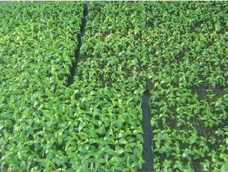 Растения подвоя Gisela 5® одного строка посадки, высажены в субстраты от разных производителей