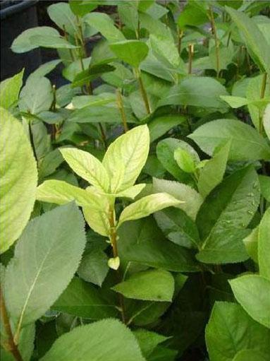 Хлороз верхушечных листьев (симптомы нехватки железа)