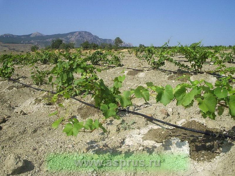 винограда для выращивания,