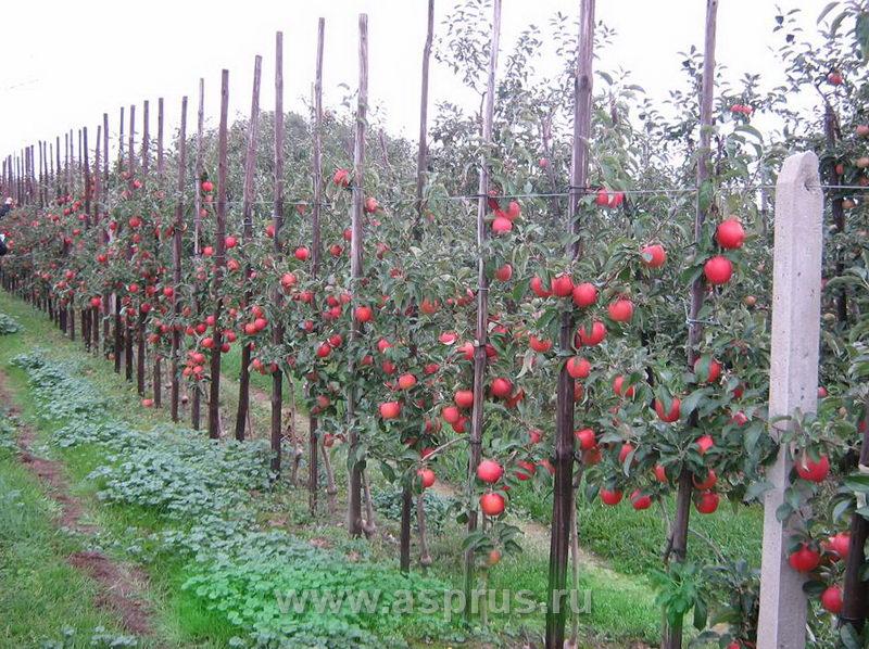 Болезни листьев яблони Результаты поиска АППЯПМ