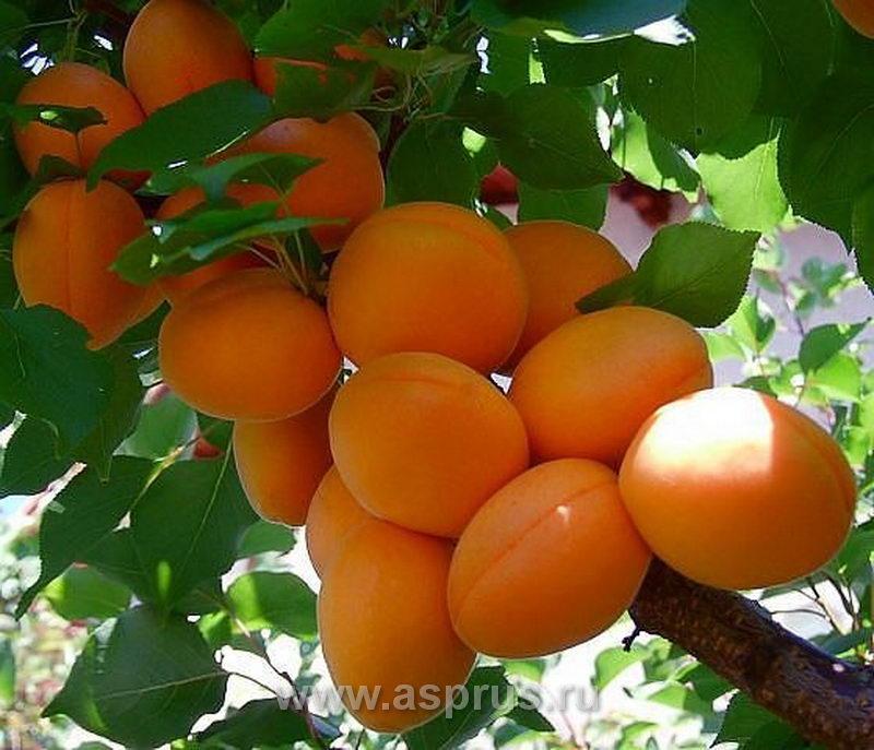 Морозостойкие сорта абрикоса