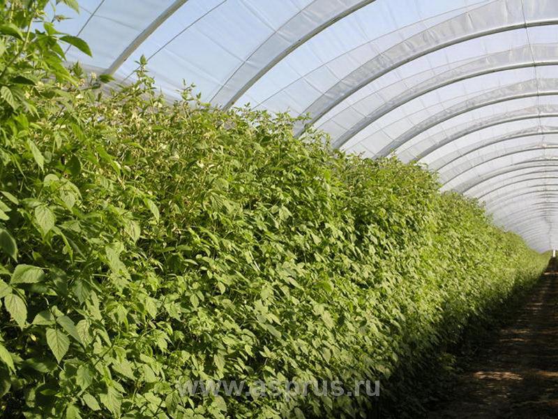 Промышленное выращивание малины в россии 62