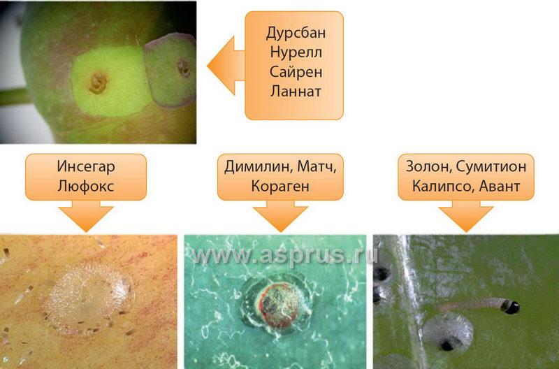Выбор инсектицида в зависимости от состояния развития я блонной плодожорки