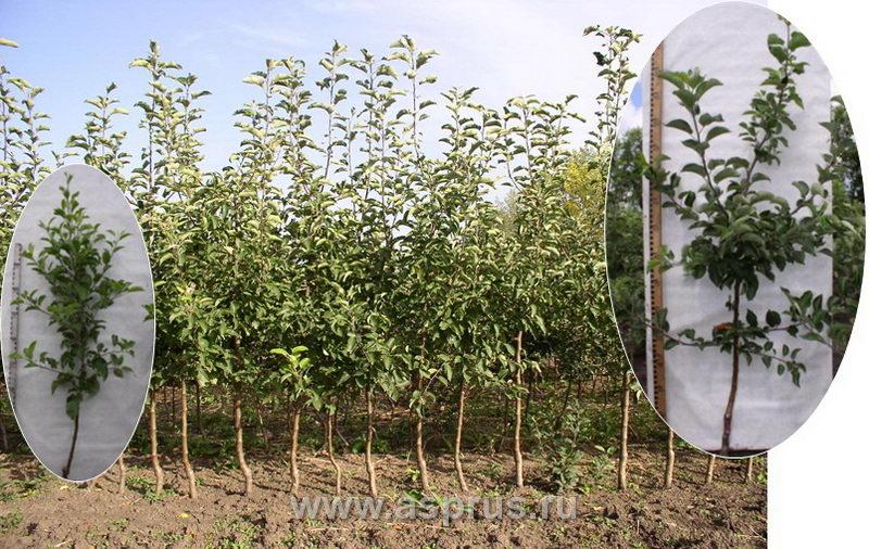 Саженцевы яблони с развитой генеративной сферой