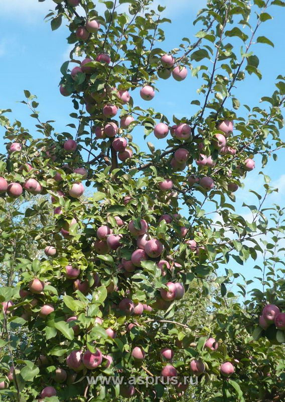 Плодоносящая яблоня на слаборослом подвое