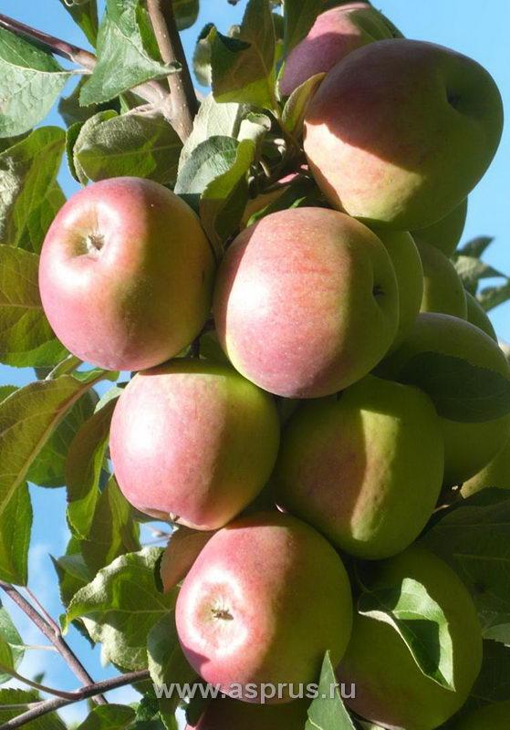 Плодоносящая ветвь яблони на слаборослом подвое