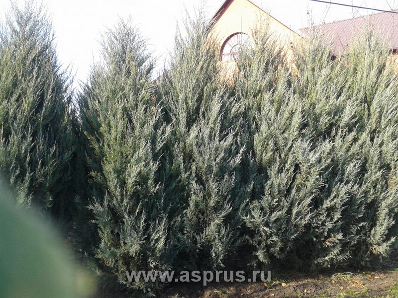Коммерческое предложение по реализации деревьев можжевельника пирамидального