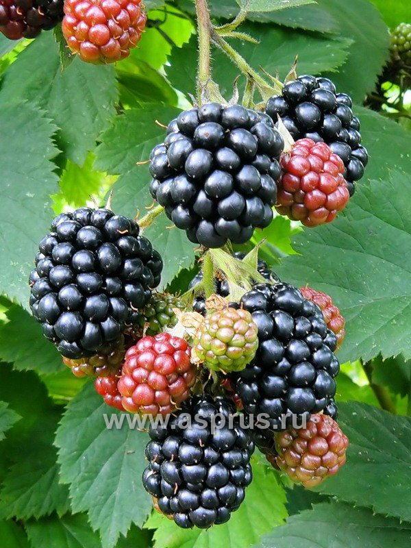 Сорт черной малины - Dundee