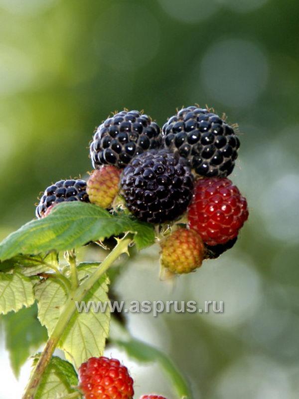 Сорт черной малины - Munger