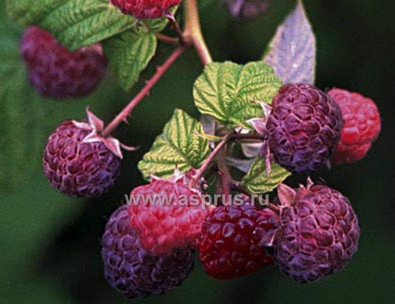 Сорт малины красной - Brandywine