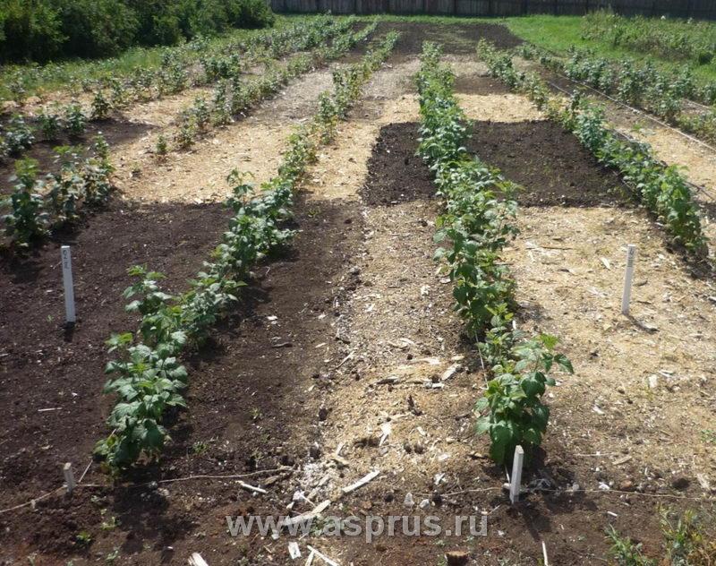 Промышленное выращивание малины в россии 94