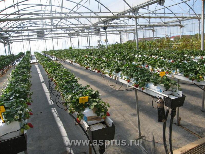 Выращивание клубники в промышленных масштабах как бизнес 66