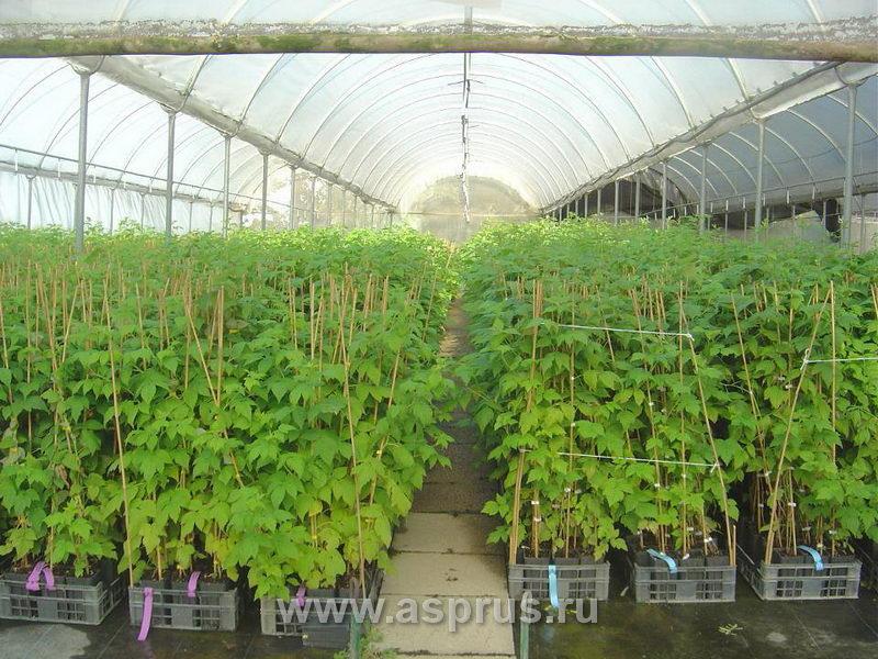 Выращивание малины в горшочках