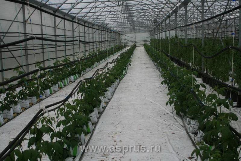 теплица с рассадой малины