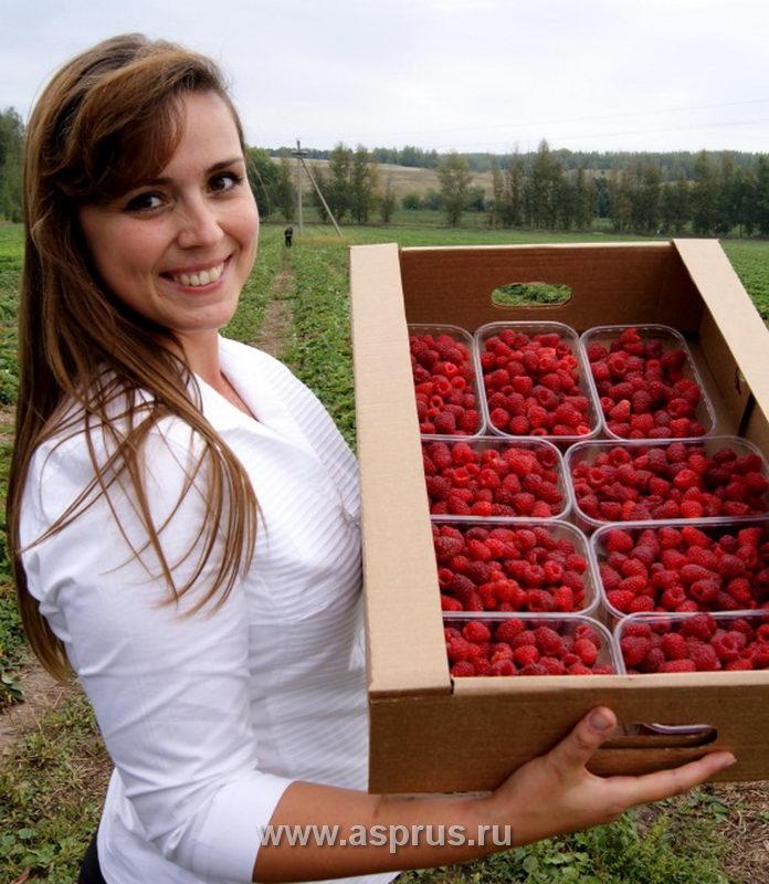 малины сорта Полька