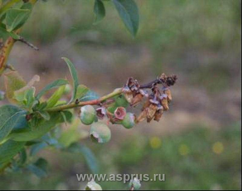 болезни голубики садовой фото