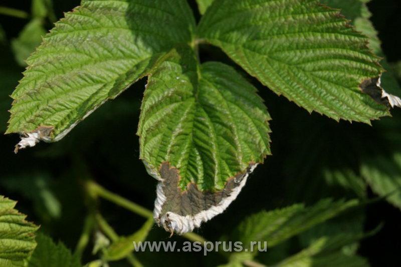 Листья клубнику жрут темно-коричневые гусеницы