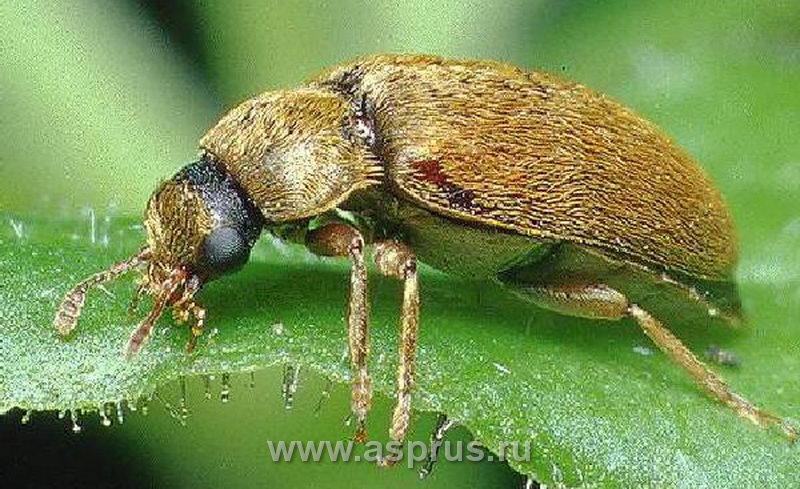 Малинный жук – имаго