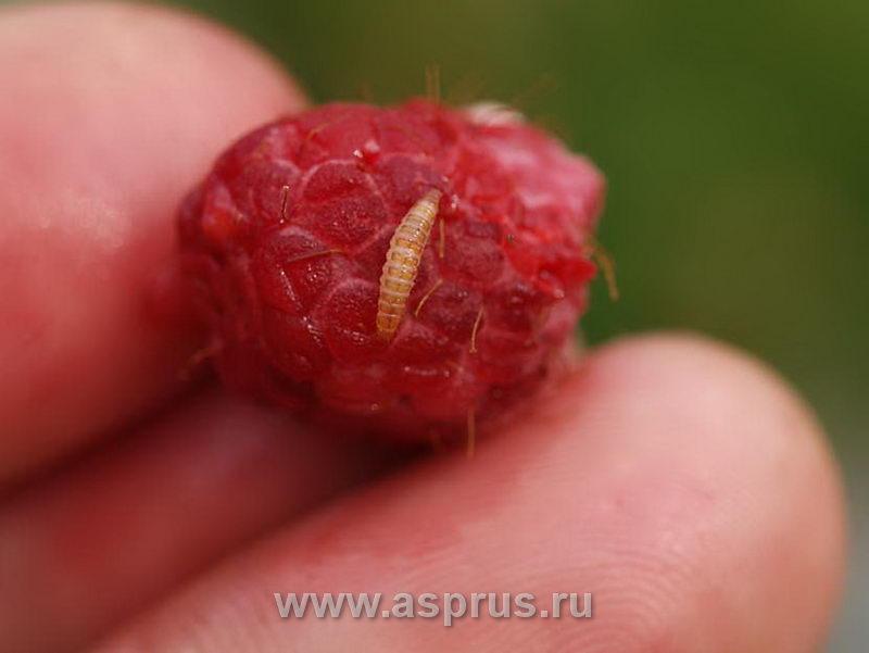 Малинный жук – личинка