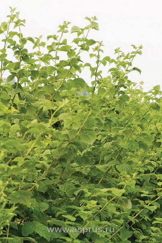 Низкое содержание азота в листьях малины