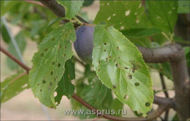 Клястероспориоз (дырчатая пятнистость) листьев сливы
