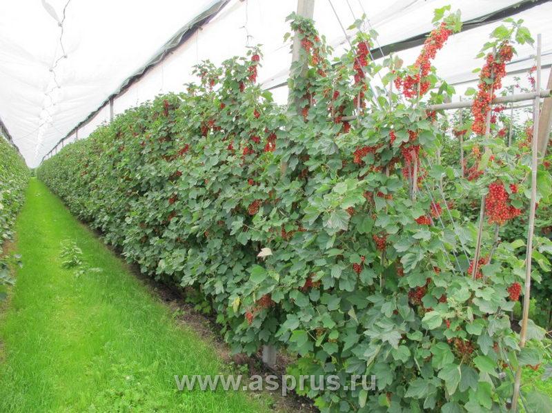 Смородина и ее выращивание 133