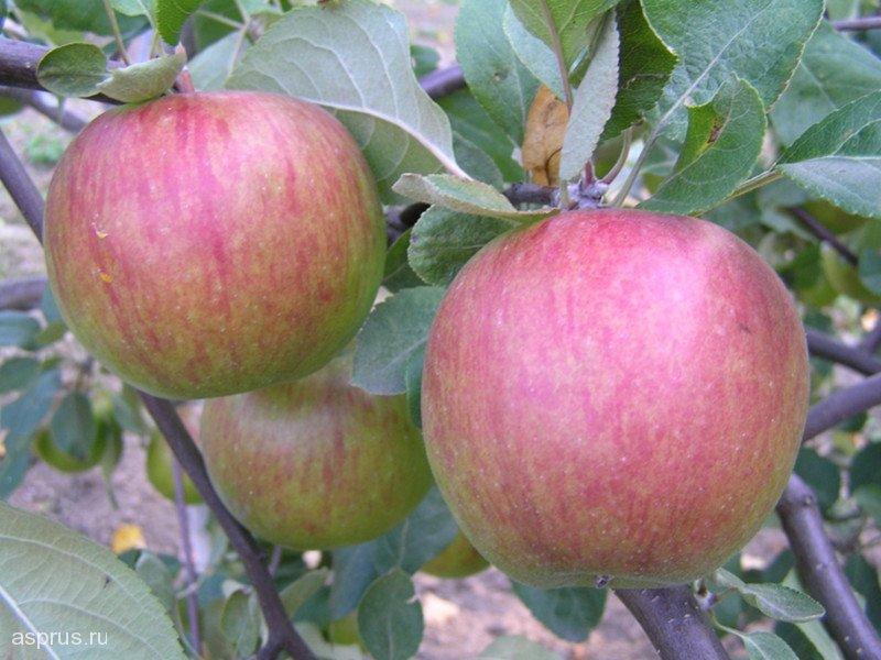 Сорт яблони Поспех
