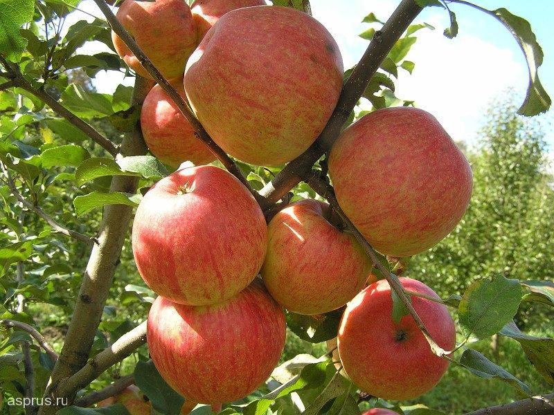 Сорт яблони Хани крисп