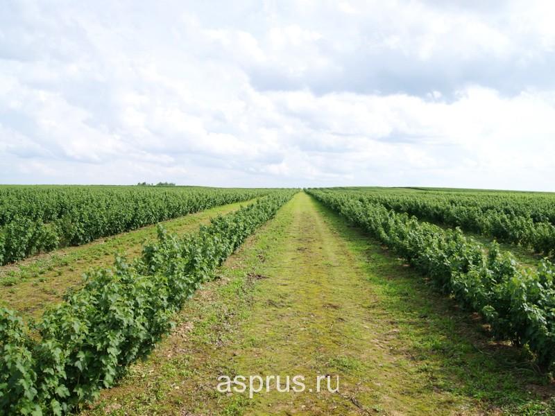 Промышленное выращивание малины в россии 52