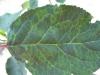Шарка сливы, типичные симптомы на листьях