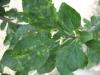 Шарка сливы, симптомы в виде хлоротической пятнистости