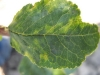 Симптомы шарки сливы осенью