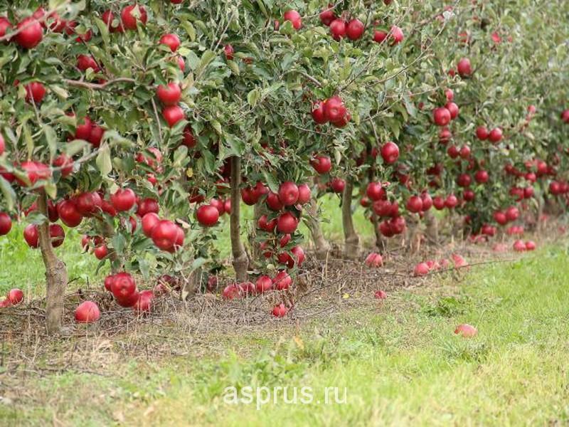 Фото яблоки в саду