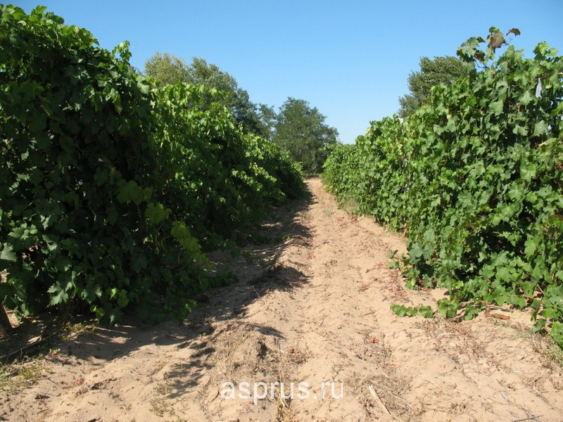 плантация винограда в