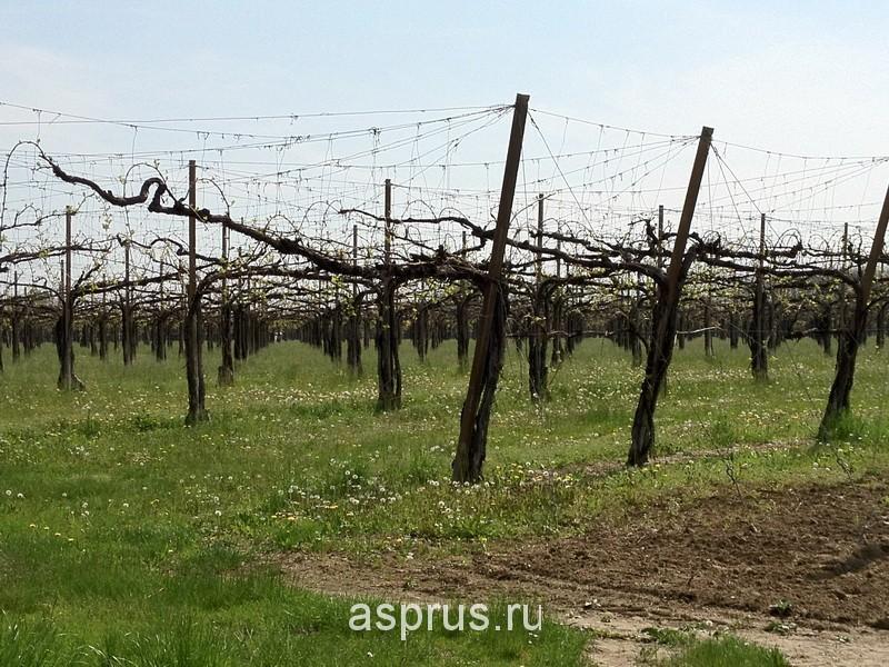 Формировка растений винограда