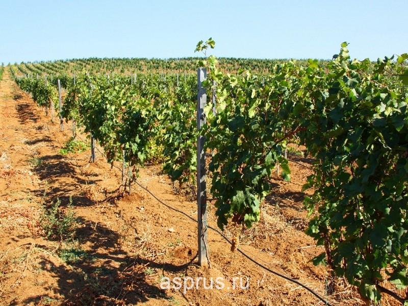 при выращивании винограда
