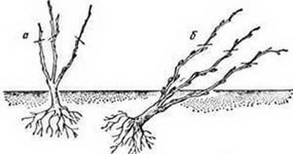 Посадка малины смородины крыжовника