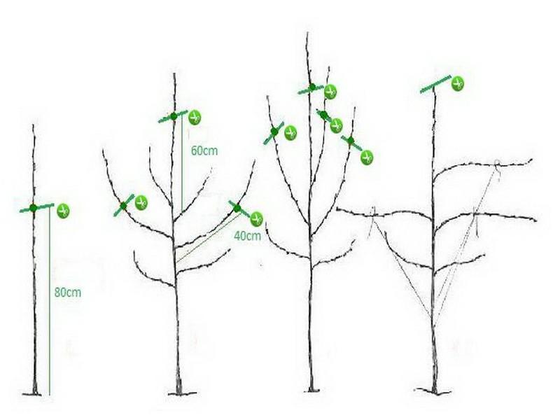 Обрезка молодых деревьев в