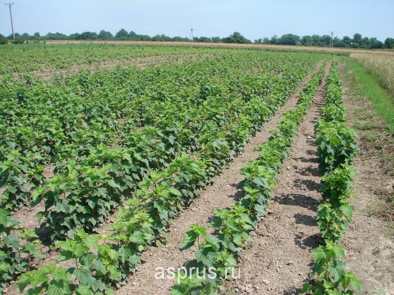 Выращивание черной смородины как бизнес колонны были