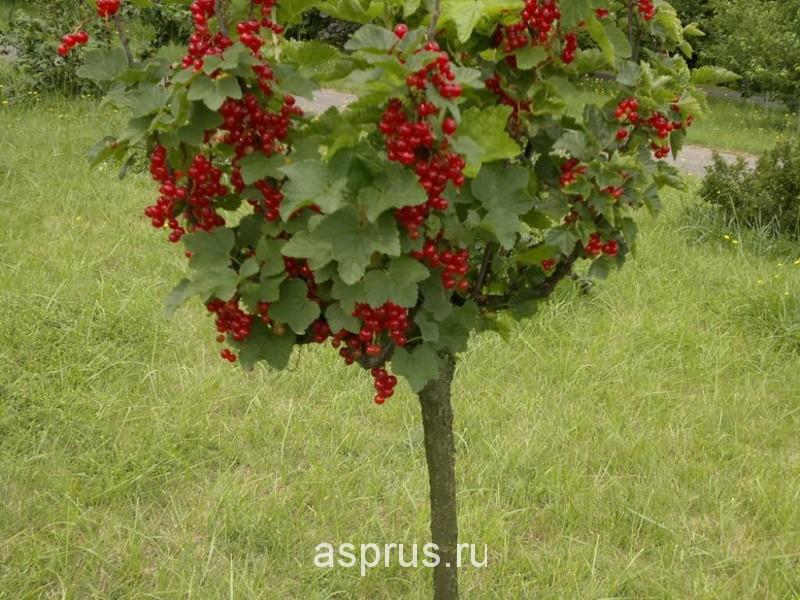 выращивание крыжовника на шпалере Результаты поиска АППЯПМ