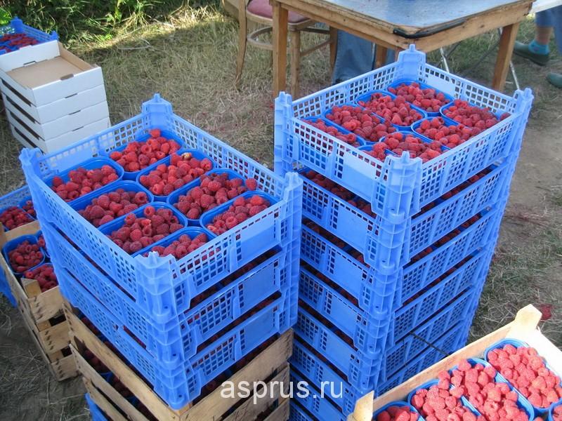 Ферма по выращиванию малины 62